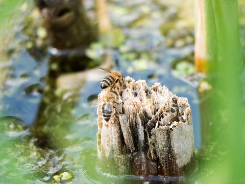Biene beim trinken - durst löschen