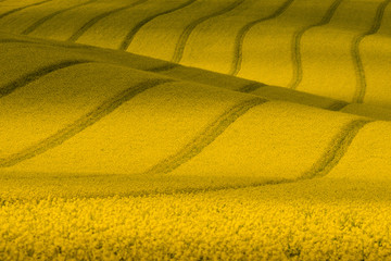 Texture With Rape.Yellow Wavy Rapeseed Field With Stripes.Corduroy Summer Rural Landscape In Yellow Tones.Yellow Rapeseed Field With Wavy Abstract Landscape Pattern.Nature background