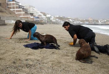 Veterinarians Grau and Yaipen train 3-month-old sea lions at a beach in Lima
