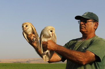 Bird keeper Kobi Merom holds two barn owls during an interview with Reuters in Israel's Beit Shean Valley, near the border with Jordan