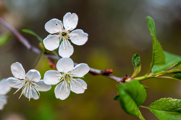 Apricot tree flowers with soft focus. Spring white flowers on a tree branch. Cherry tree in bloom. Spring, seasons, white flowers of apricot, cherry tree close-up.