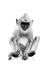 Isolated on white, vertical black and white photo of Gray langur, Semnopithecus entellus, monkey baby sitting on stone wall  staring directly at camera.  World heritage city Anuradhapura,Sri Lanka.