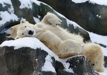 Two polar bears relax in the snow at Schoenbrunn zoo in Vienna