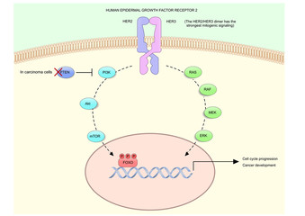 HER2 (human epidermal growth factor receptor 2), or HER2/neu and its signalling pathway