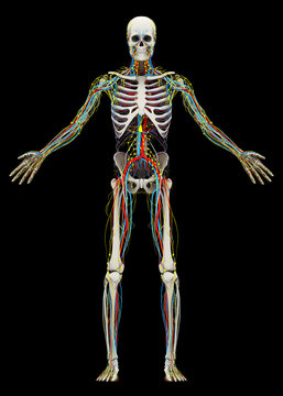Human's (male) skeleton and circulatory, lymphatic, nervous systems. Image isolated on a black background. 3D illustration