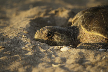 Olive Ridley turtle is seen during nesting season in the La Flor Wildlife Refugee