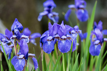 雨上がりのアヤメの花
