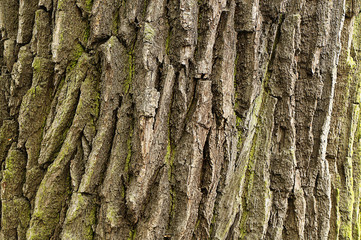 Texture of the bark of a deciduous tree trunk