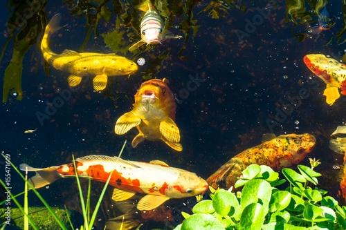 Koi fische im teich stockfotos und lizenzfreie bilder for Welche fische in teich
