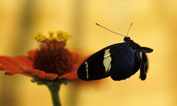 A Morpho Helenor butterfly flies near a flower at Blue Morpho Butterfly House in Alajuela