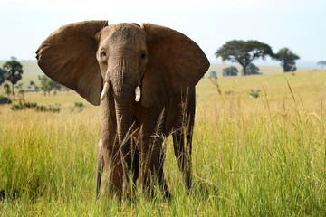Elephant facing camera