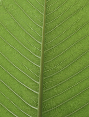 fresh green leaf from Plumeria tree
