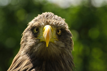 Fototapete - White-tailed eagle, eagle sea