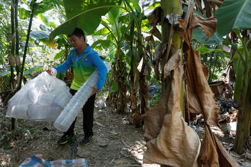 A researcher carries empty containers after releasing male mosquitos on Shazai Island in Guangzhou, China