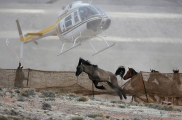 File photo of several wild horses escaping as a helicopter is used by the Bureau of Land Management (BLM) to gather horses into a trap south of Garrison, Utah