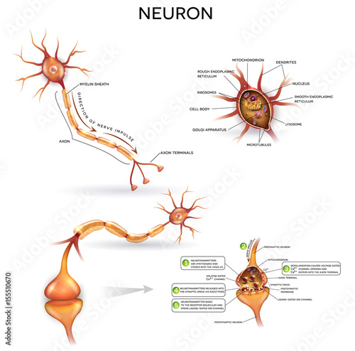 Neuron, nerve cell, close up illustrations set. Synapse detailed ...