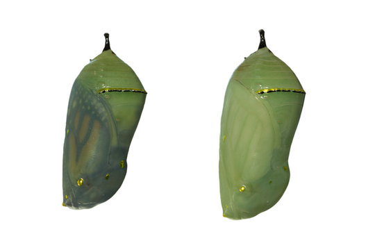 Two monarch butterfly chrysalises with one day difference in development, the left one nearly ready for eclosion as wings are showing through the shell