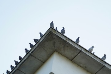 Pigeons sitting in line on a roof