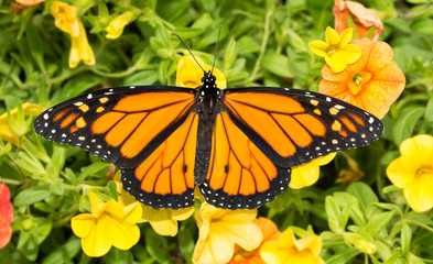 Top view of a male Monarch butterfly on bright yellow Calibrachoa