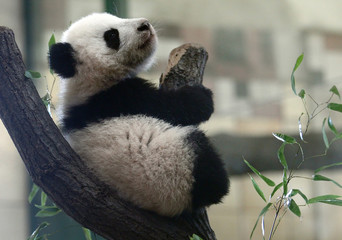 Giant Panda cub Fu Bao (meaning lucky leopard) sits on a tree stump in its enclosure at the zoo in Vienna