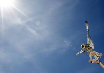 An ornitholigis frees a Long-eared Owl (Asio Otus) in the Great Hungarian Plain at Hortobagy