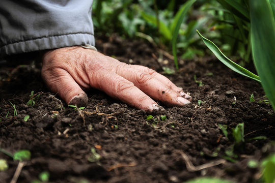 A female old hand on soil-earth. Close-up. Concept of old age-youth, life, health, nature
