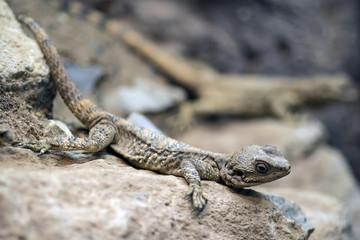 Beautiful Painted Dragon reptile Stellagama Stellio Brachydactyla on rock
