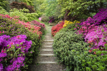 Beautiful vibrant landscape image of footpath border by Azalea flowers in Spring in England