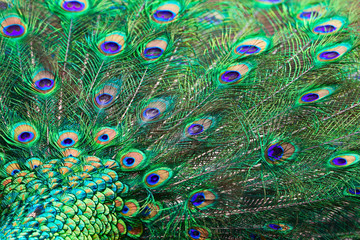 Fragment of blue-green plumage of a peacock