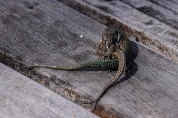 Mating wall lizards