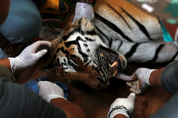 A sedated tiger is stretchered as officials continue moving live tigers from the controversial Tiger Temple, in Kanchanaburi province, west of Bangkok
