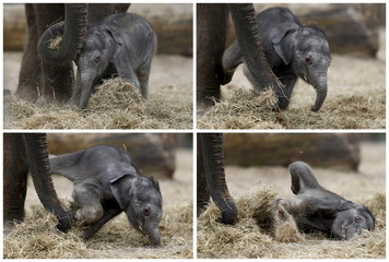 A combination photo shows newborn Asian elephant falling next to his mother at Pairi Daiza wildlife park in Brugelette