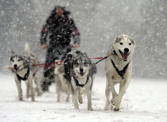 Kev Spooner and his Husky team prepare for the 29th annual Aviemore Husky Sled Dog Rally beside Loch Morlich, Aviemore, Scotland