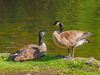 Pair of Canada goose near the lake, looking at each other