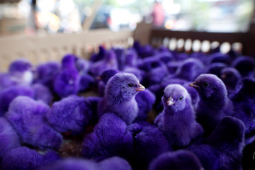 Young chickens dyed to draw attention are offered for sale at a small poultry market in Jakarta
