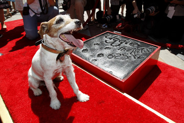 "The dog Uggie, featured in the film ""The Artist"", is pictured after leaving his paw prints in cement in the forecourt of the Grauman's Chinese theatre in Hollywood"