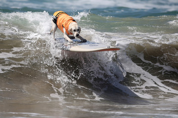 A dog rides a wave during the Surf City Surf Dog competition in Huntington Beach