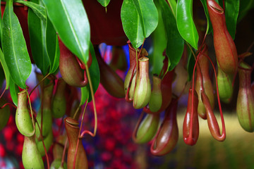 Tropical pitcher plants in the garden