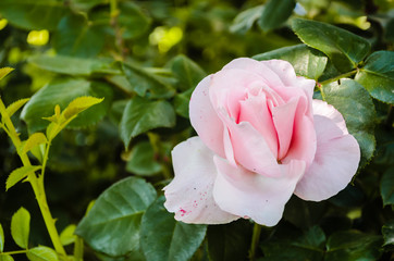 White-pink roses with detail on the petal