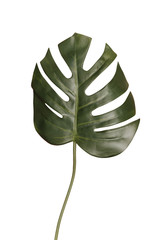 Single monstera palm leafisolated on white