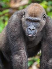 Gorilla in the African jungle Gabon (Gorilla gorilla)