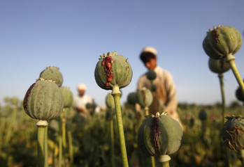 Afghan men work on a poppy field in Jalalabad