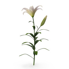 White Lily on white. 3D illustration