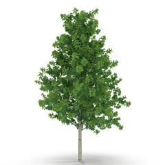 Poplar tree isolated on white. 3D illustration