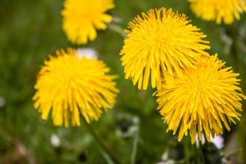 Beautiful fresh yellow dandelion in morning dew
