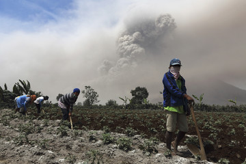 Villagers clear ash from their potato plantation during the eruption of Mount Sinabung at Naman Teran village in Karo district