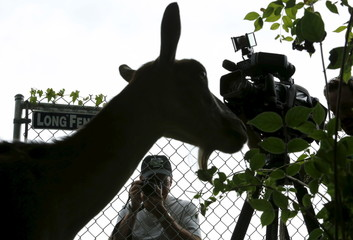 A reporter takes pictures of a goat during the annual goat herd eating weeds event at Congressional Cemetery in Washington