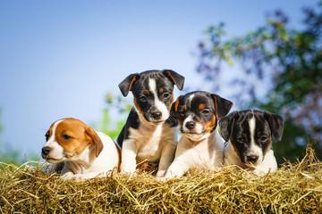Vier niedliche Jack-Russel-Welpen auf Stroh