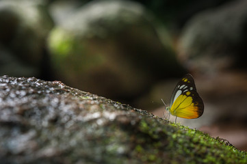 butterfly (Orange Gull)  eating minerals on the ground in nature,Thailand,minimal concept