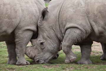 Southern white rhinoceros (Ceratotherium simum).